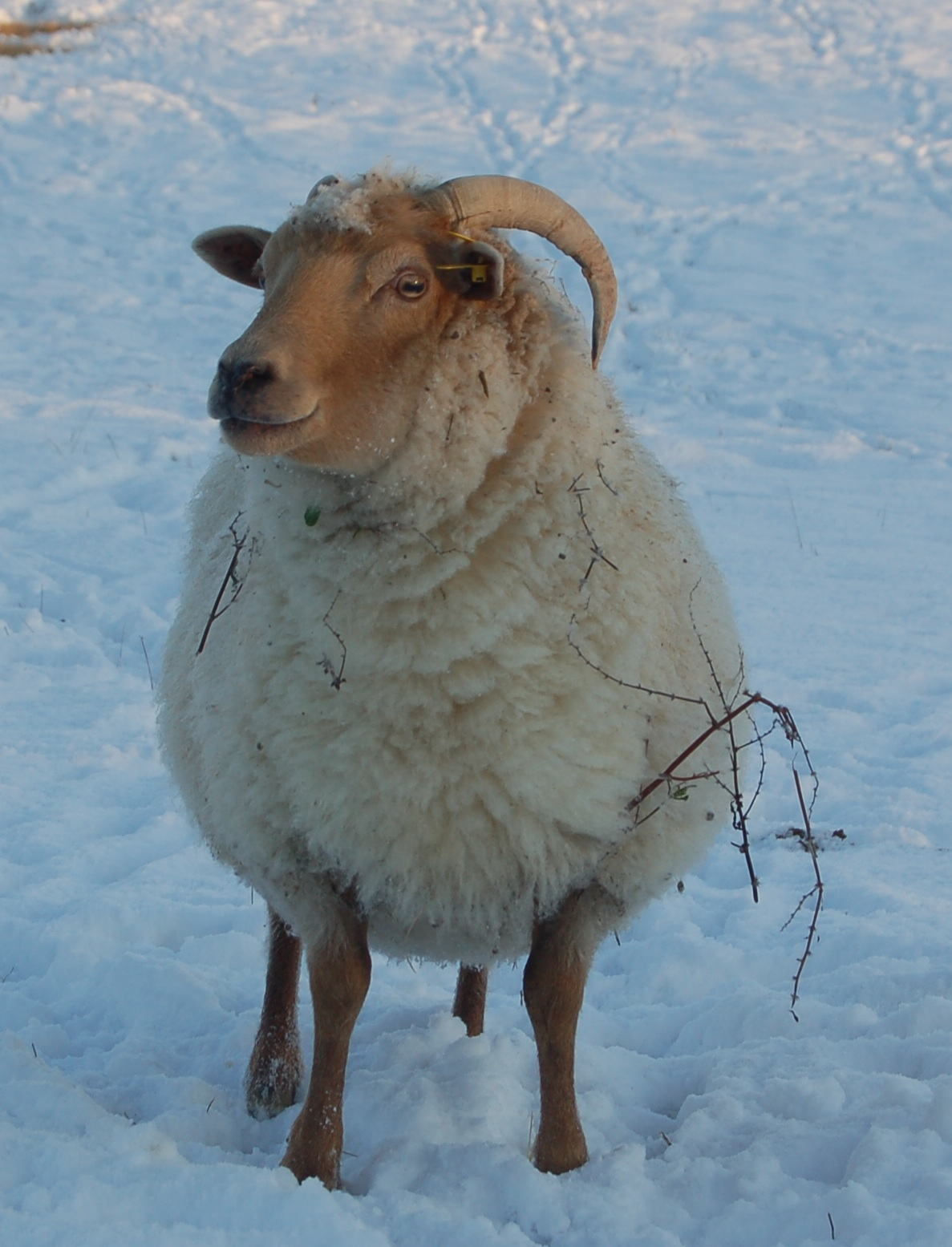 snow sheep