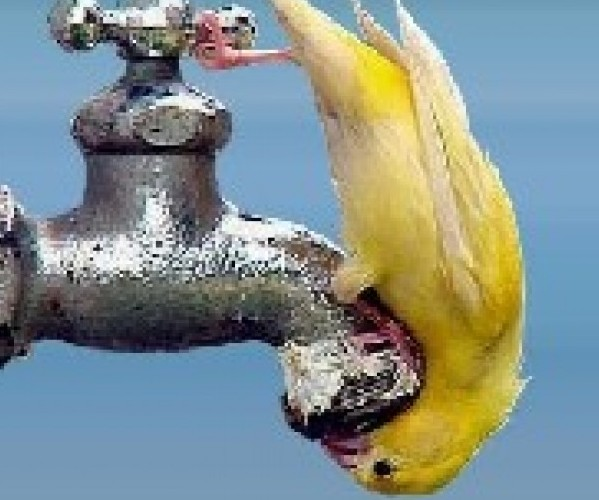 Canary bird drinking from tap