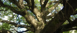 Ceiba_sp_branches