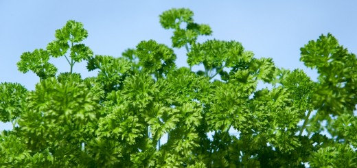 parsley_-_curly_-_lg