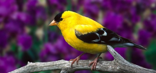15_~_Yellow-fronted_Canary