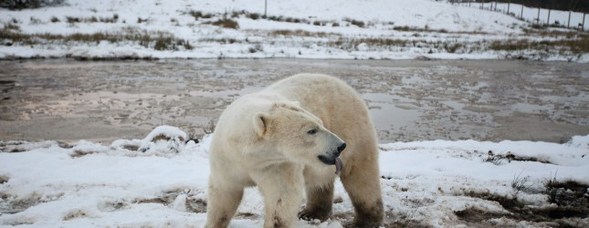 Walker The Polar Bear Celebrates His 3rd Birthday