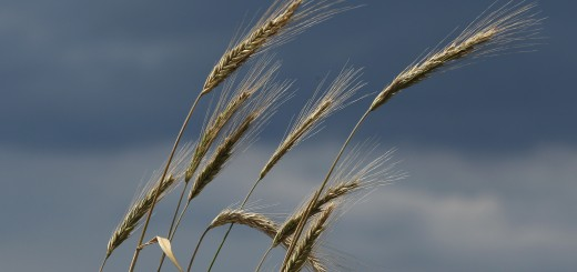 Wet Weather To Reduce German Grain Harvest
