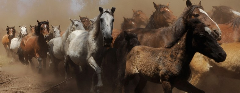 Wild Horses Are Tamed At Rapa Das Bestas